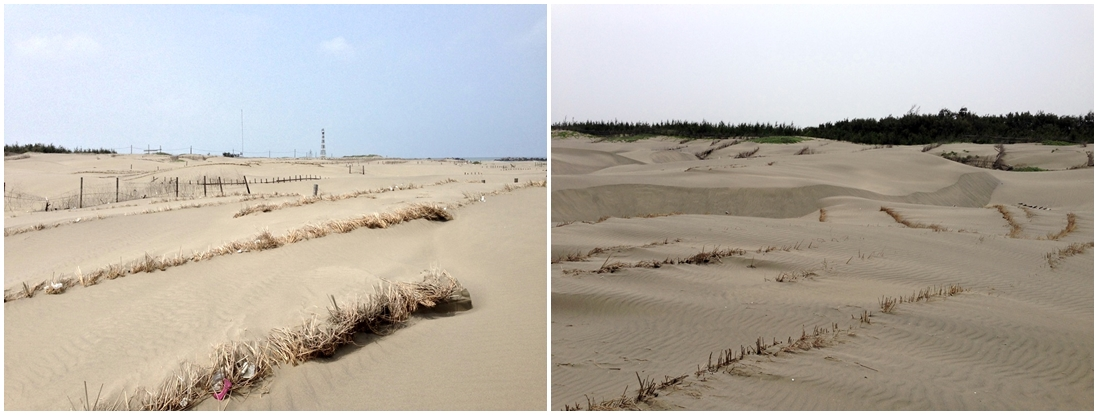 暨沙洲上壯觀的木樁竹樁之後,稻梗護沙也在沙洲留下了堅強的身影。